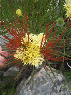 Ferkloof flower 11