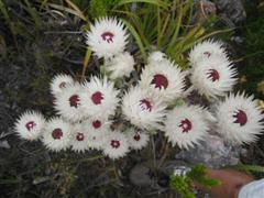 Ferkloof flower 12