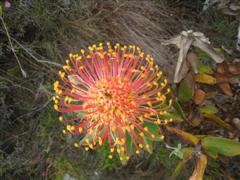 Ferkloof flower 4