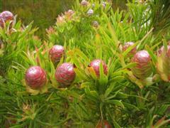Ferkloof flower 9