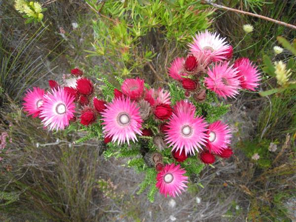 Flowers in the Fynbos