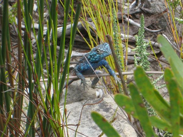 Lizard in the Fynbos