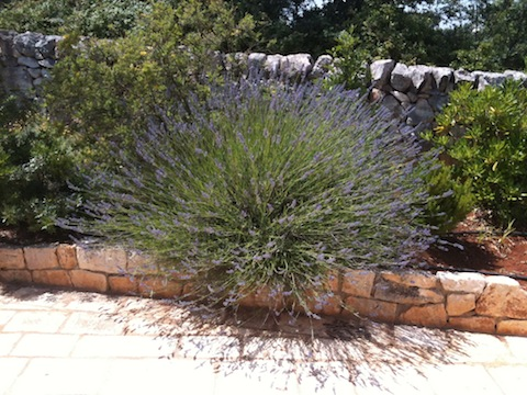 Lavender 2011