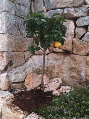 Lemon tree in the courtyard