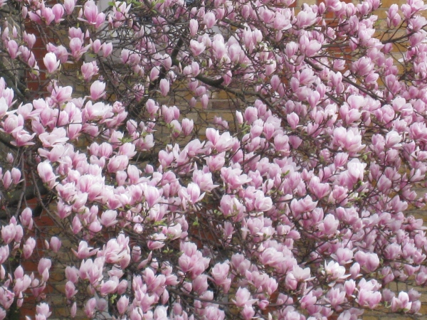 magnolia tree tattoo. magnolia tree pictures.