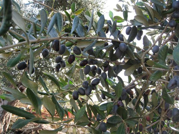 olive harvest 2008 - 1
