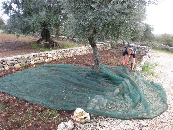 olive harvest 2008 - 2