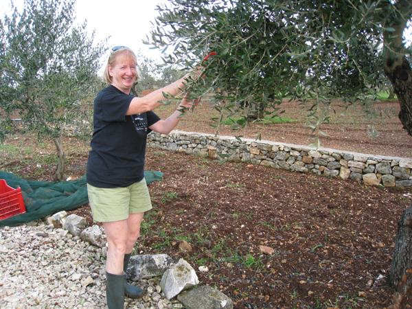 olive harvest 2008 - 4