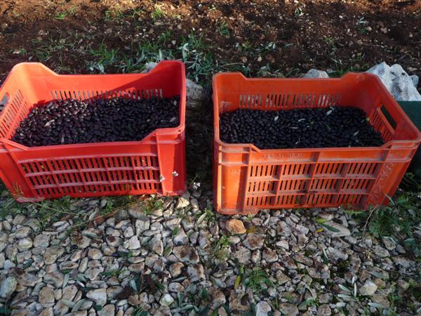olive harvest 2008 - 5