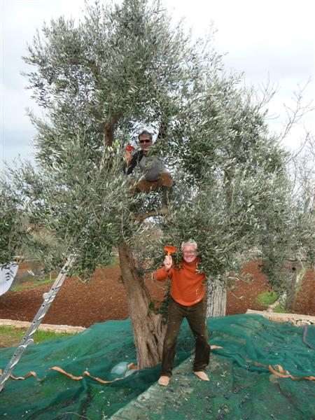Harvesting olives 2009 - Mark and John