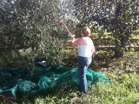 Raking olives from the tree