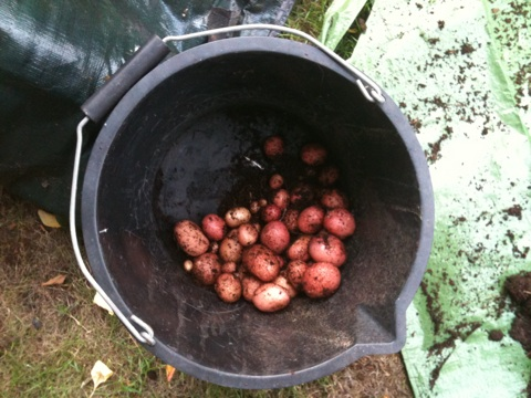 potatoes grown in a bag 4 of 4