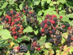 Ripe blackberries