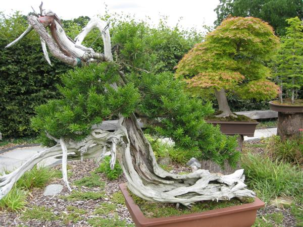 RHS Wisley: 200 year old bonsai