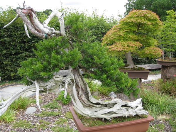 RHS Wisley: 200 year old bonsai
