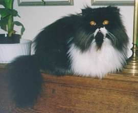 Oscar the black and white Persian cat